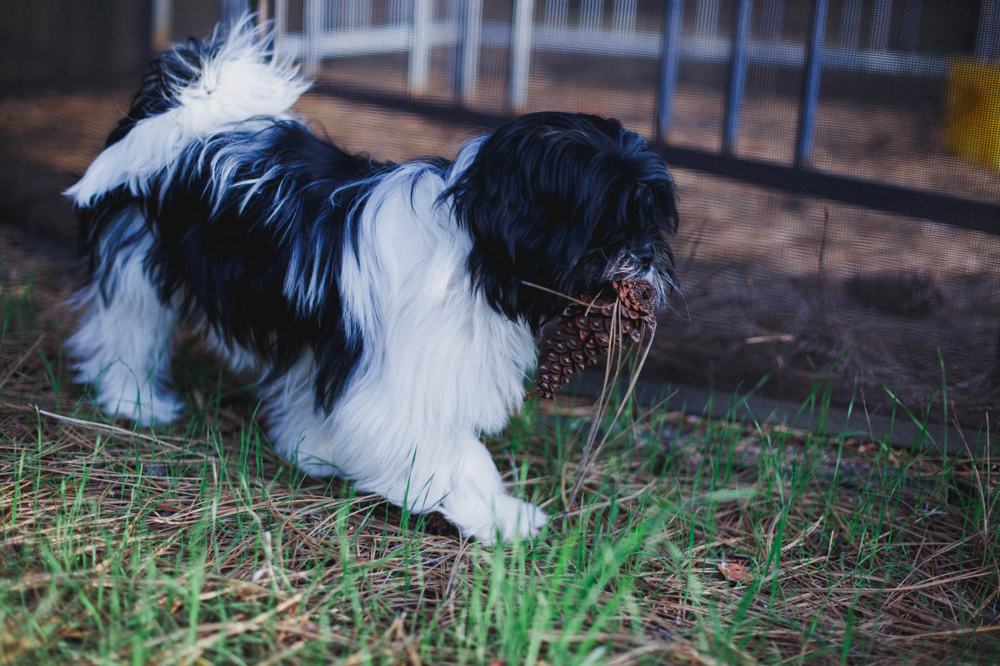 Lhasa Apso Puppy carrying a pine cone