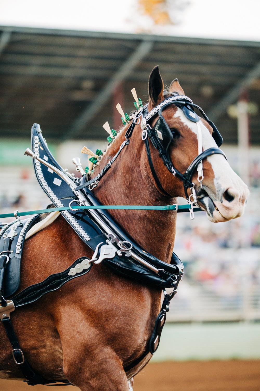 Draft Horse Classic at the Nevada County Fairgrounds | Lenkaland