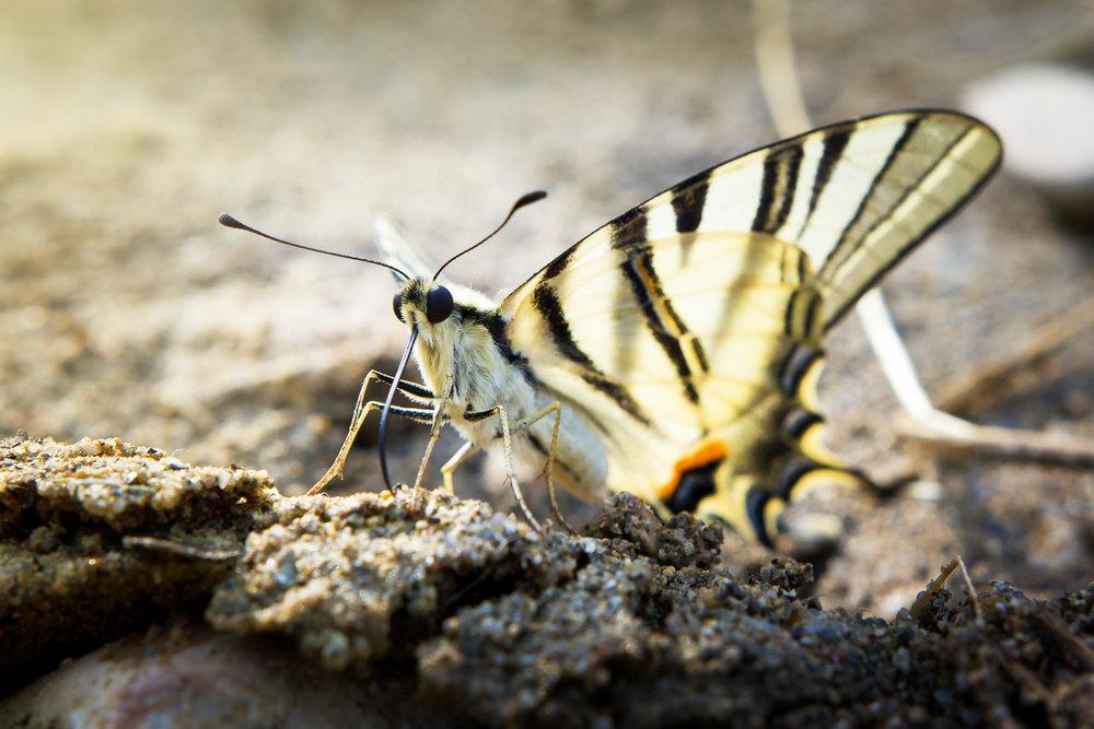Papillon Millau