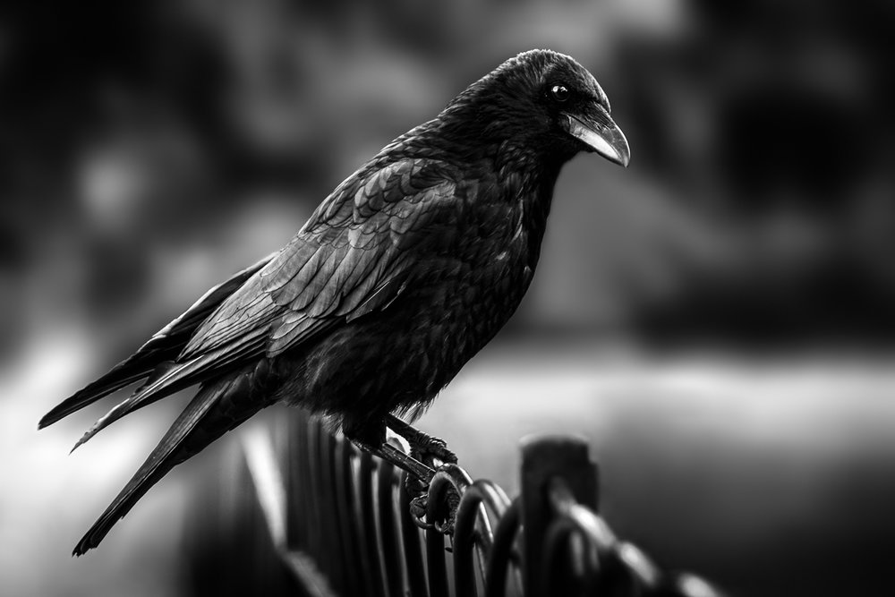 Corbeau Londres Angleterre