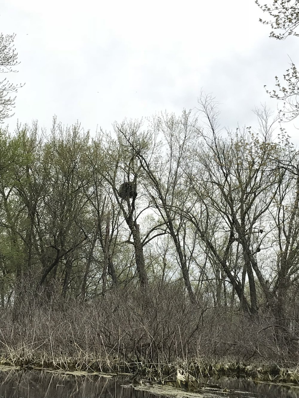 Bald Eagle nest in the Lake Pepin Backwaters