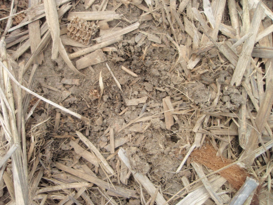 Figure 2.  Undisturbed crop residue provides a testament to the continuous work of soil organisms, with worm tunnels in the soil and stalks indicating the biological activity happening below the surface.