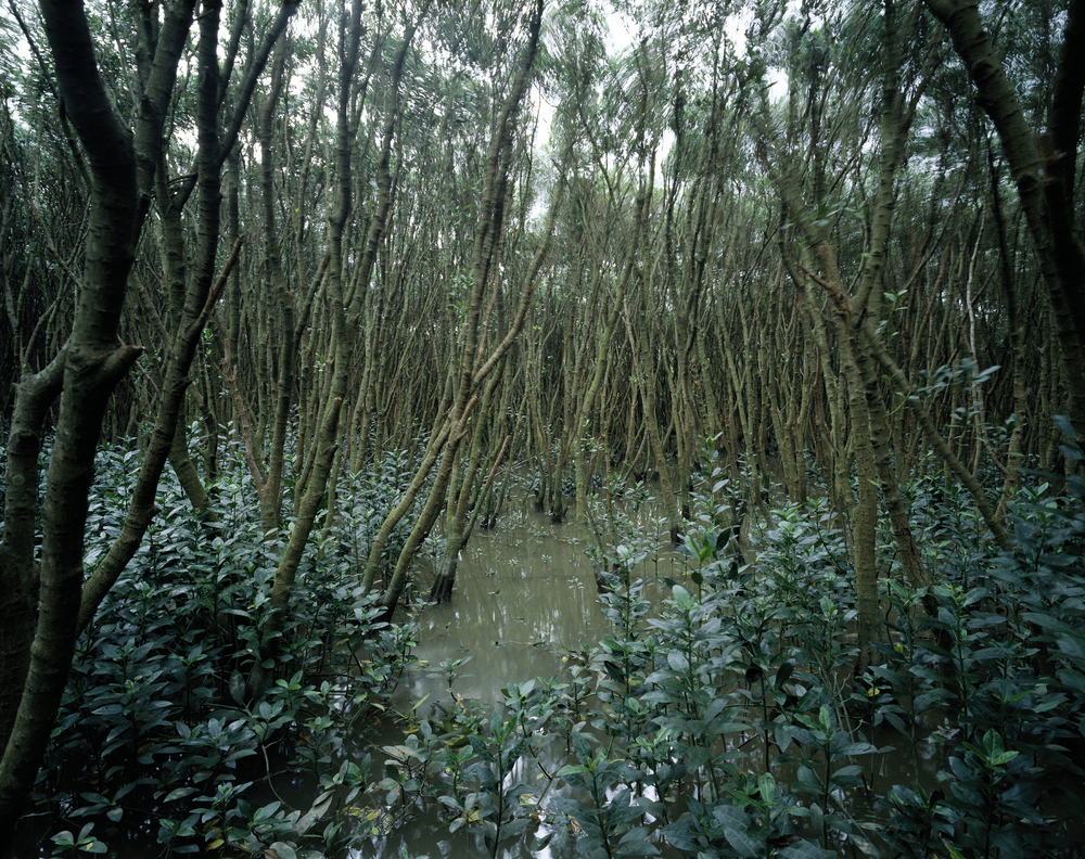 Mangrove #1 (2010)