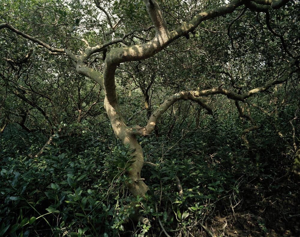 Mangrove Tree (2010)