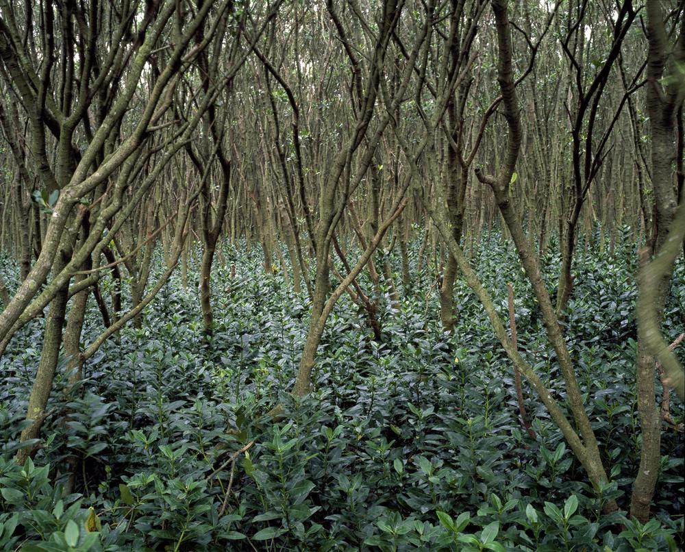 Mangrove #5