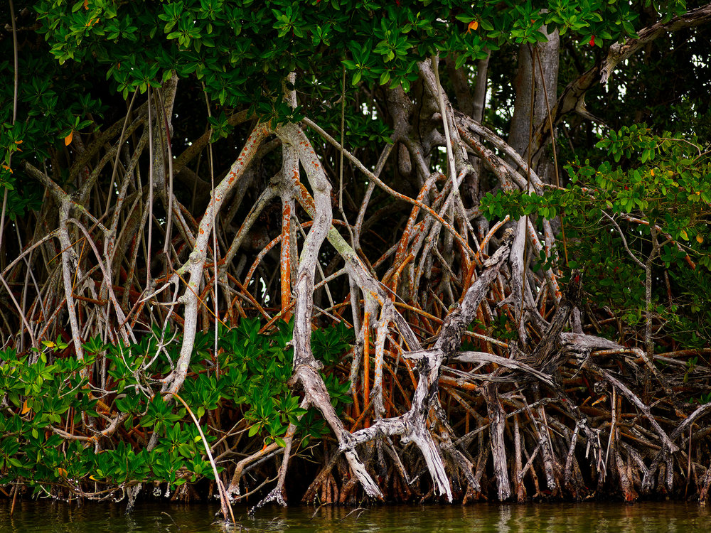 Red Mangrove Stand (2018)