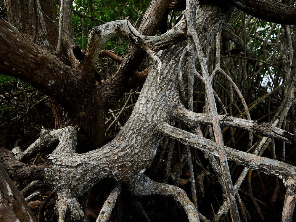 Old White Mangrove Trunk (2018)