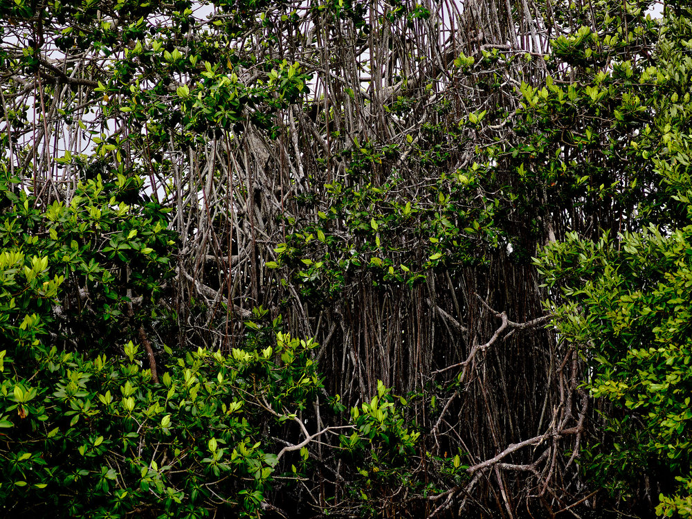 Black Mangrove Stand (2018)
