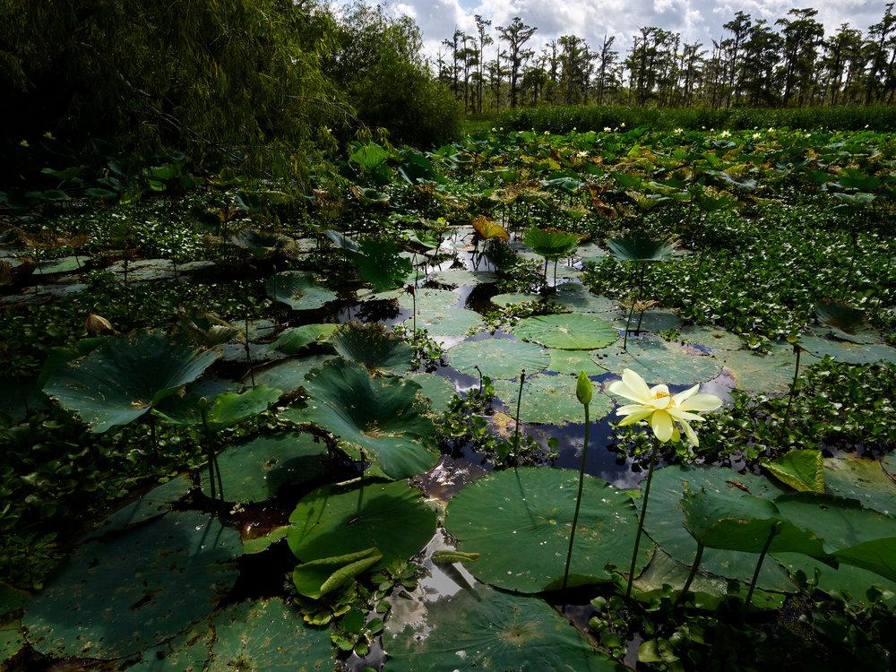 American Lotus, Mandalay Wildlife Refuge (2018)