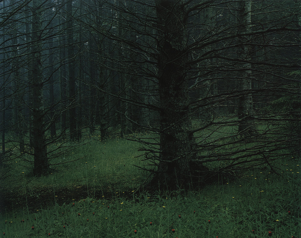 @ Eliot Porter,  Spruce Trees in Fog and Hawkweed , Great Spruce Head Island, Maine, July 4, 1964