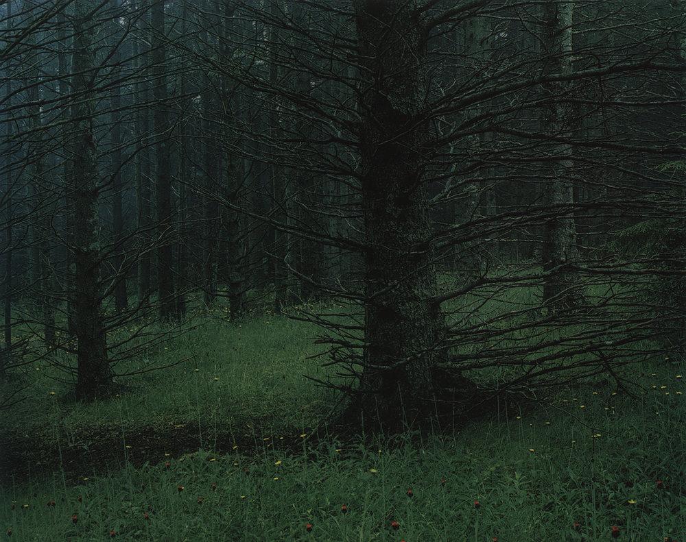 @ Eliot Porter,  Spruce Trees in Fog and Hawkweed , Great Spruce Head Island, Maine, July 4, 1964