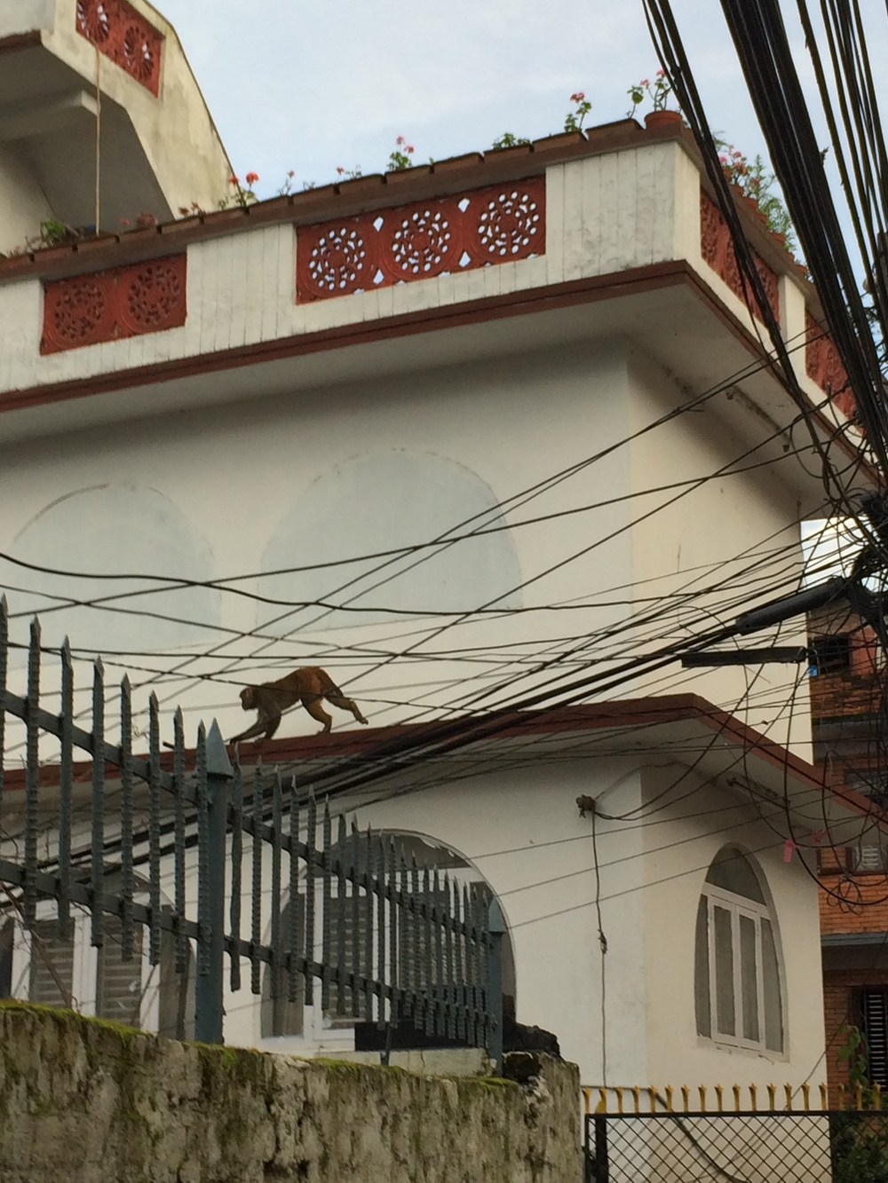 Our neighborhood monkey crossing one of the masses of power lines