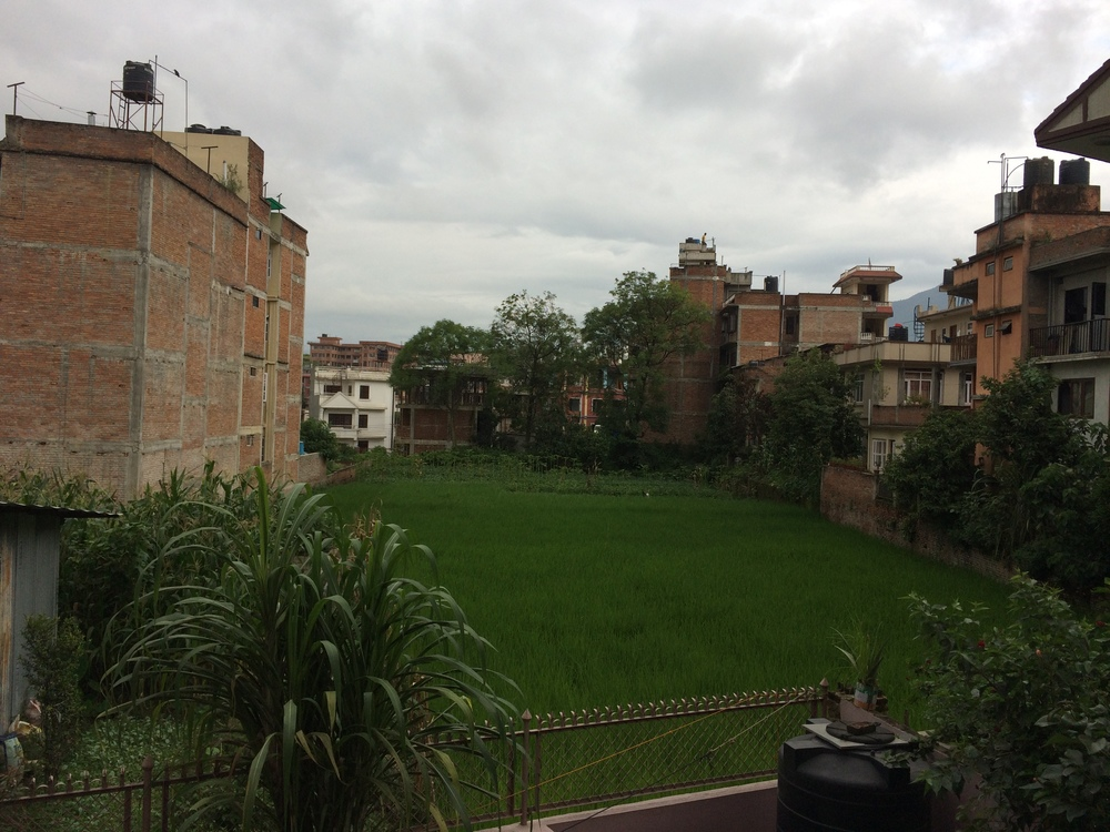 The sugar cane (foreground) and rice paddy (background) outside my window. Central Kathmandu is a bit of a mix of rural and urban all in one.