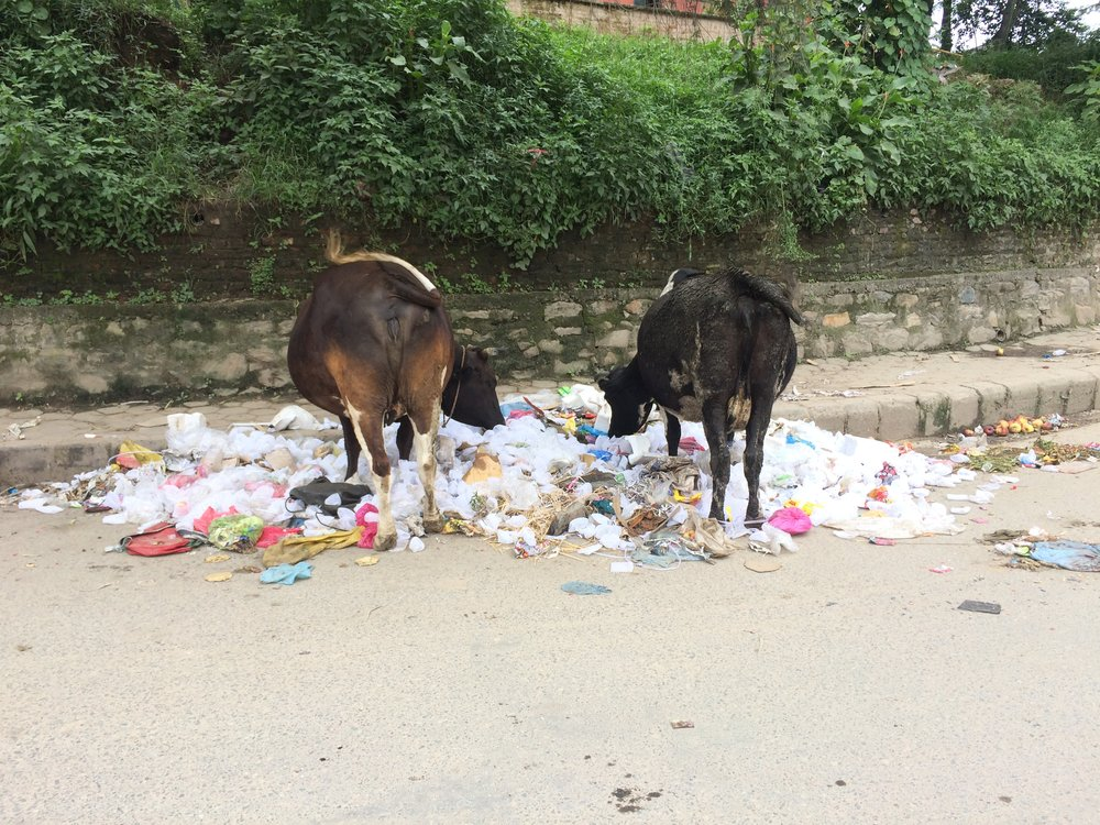 Stray cows (which happens because its illegal to kill a cow and they're expensive to keep once they stop producing milk, so they're turned free) eating rotting fruit outside a fruit distribution area for the fruit sellers
