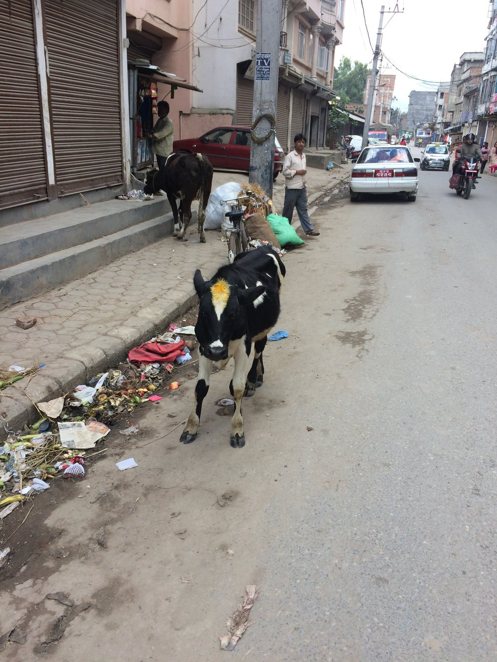 A street cow got a tikka blessing from someone on the last day of Dashain