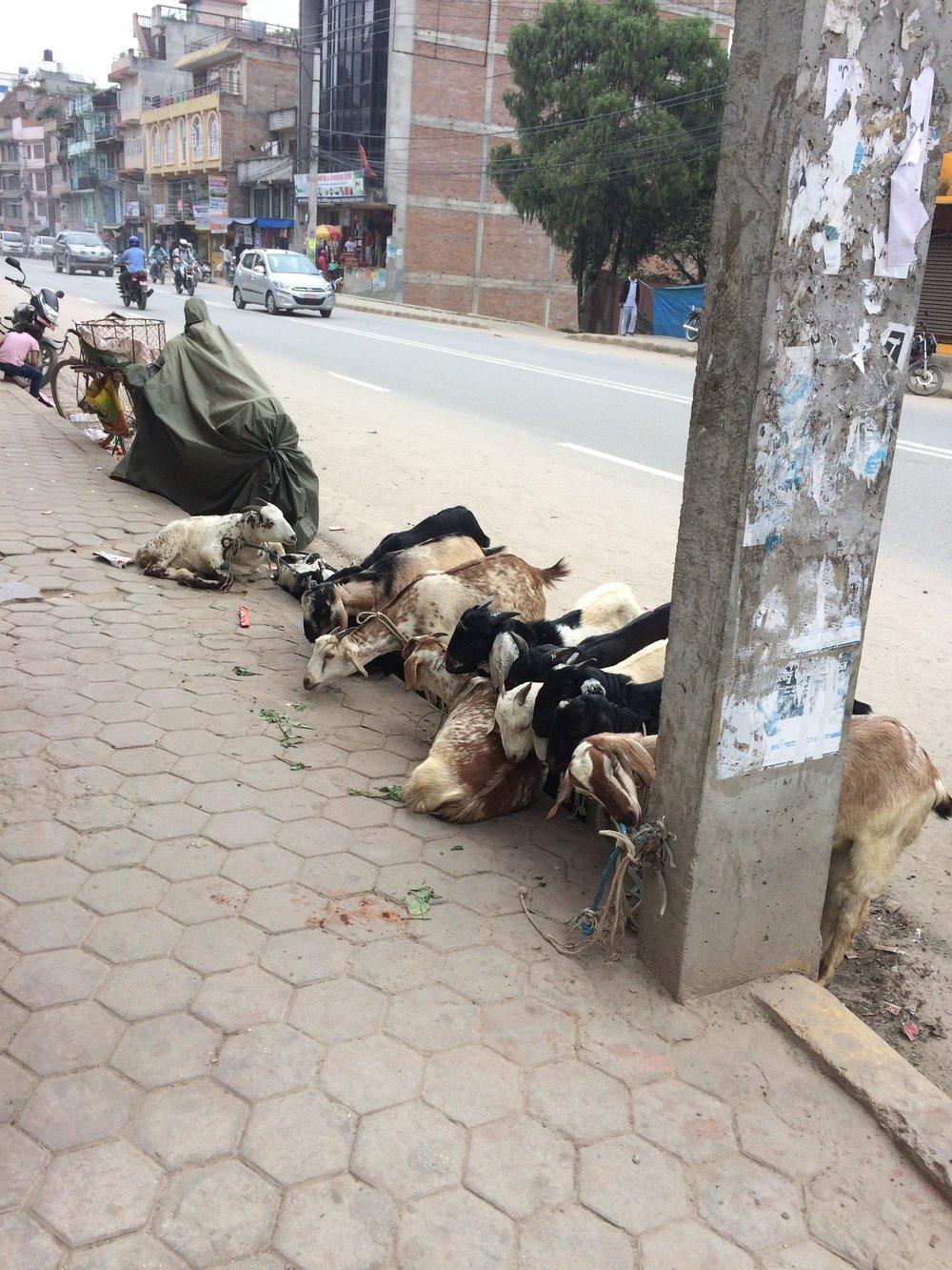 Goats waiting for slaughter in Kathmandu