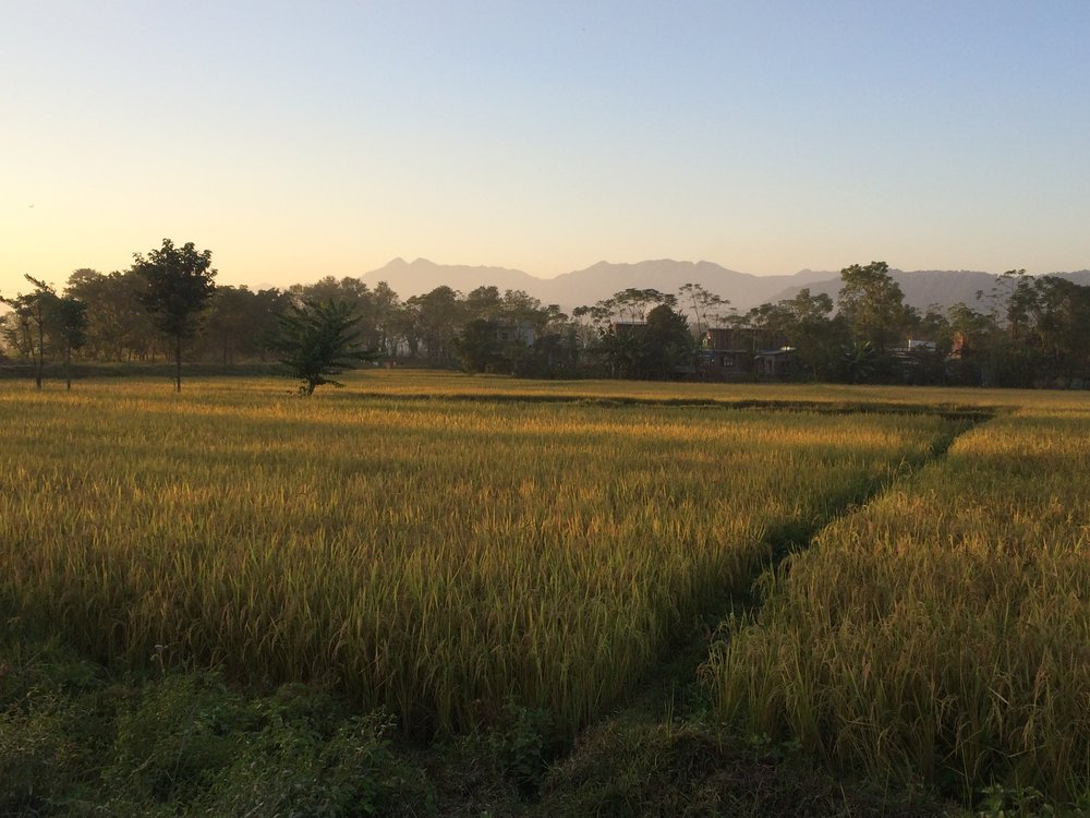 Sun setting over a rice field, just before the harvest