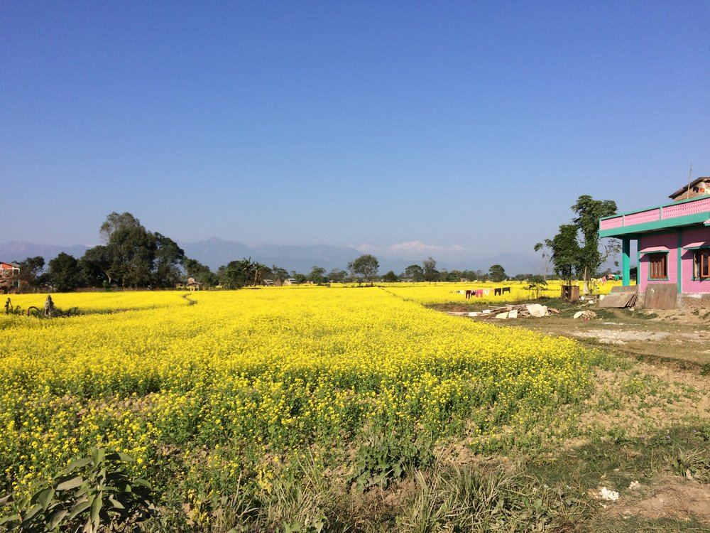 Chitwan produces the most mustard oil of anywhere in Nepal. Here's a typical Chitwan scene, taken from a motorbike after an interview, of the mustard fields with Manaslu Himal, the 8th tallest peak in the world, in the background