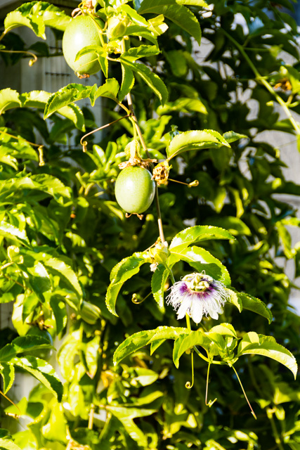 Day 12 - Passionfruit in the backyard