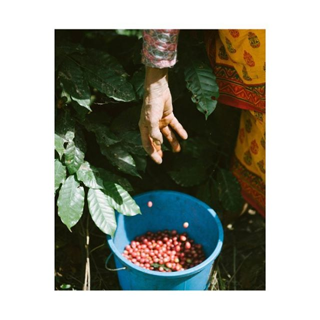Coffee in Nepal is mostly grown through village cooperatives. Communities are given agricultural training and the material they need to pick their own berries. Coffee becomes a tool to empower farmers with ethic wages, bringing a better standard of life in these communities.