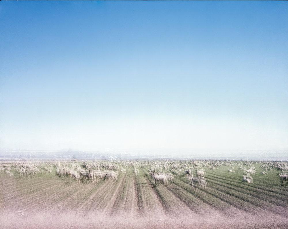 sheep on open field