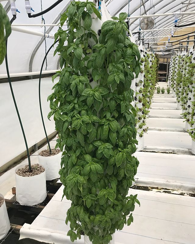 Herbs, herbs, herbs... If you guys haven't tried our herbs yet, let this be your cue! Once you go fresh, you'll never go back.  #basil #dill #lavender #rosemary #thyme #oregano #parsley #aquaponics #vertical #grow #filter