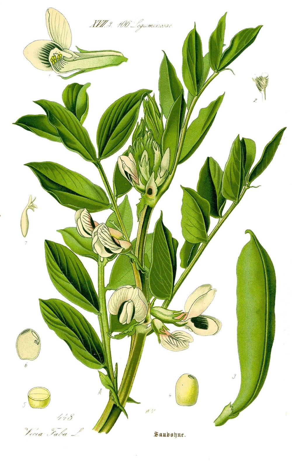 Fava plant