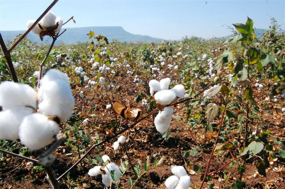 Cotton fields outside Ahmedabad, India. Sintex (c)