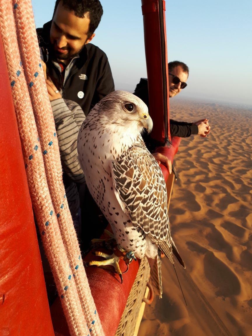 Hawk in Dubai.jpg