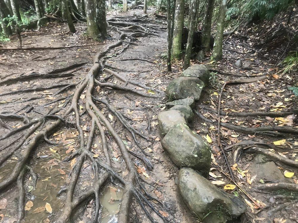 Slippery tree roots