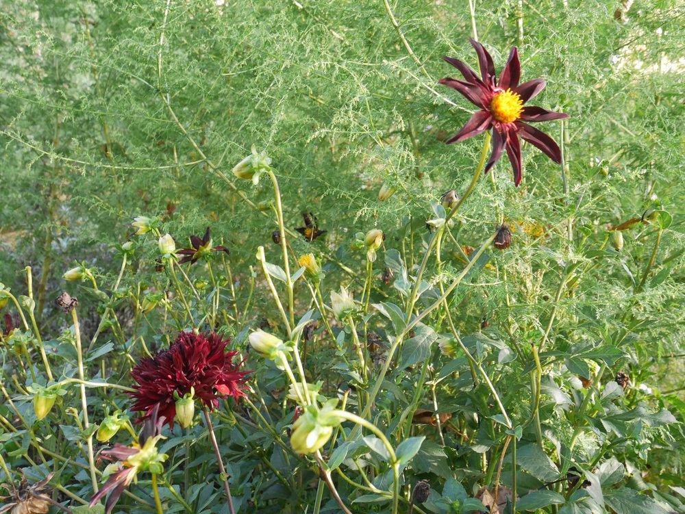 Artemisia annua, Dahlia 'Verrone's Obsidian' und 'Kenora Macop B', August 2017