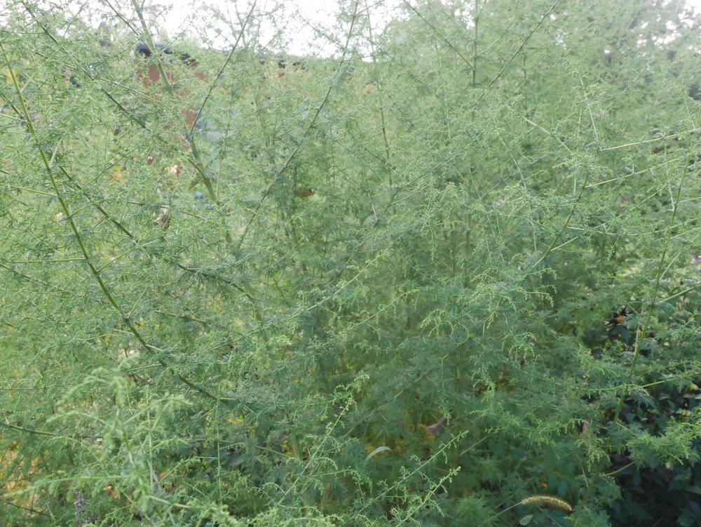 Artemisia annua, August 2017