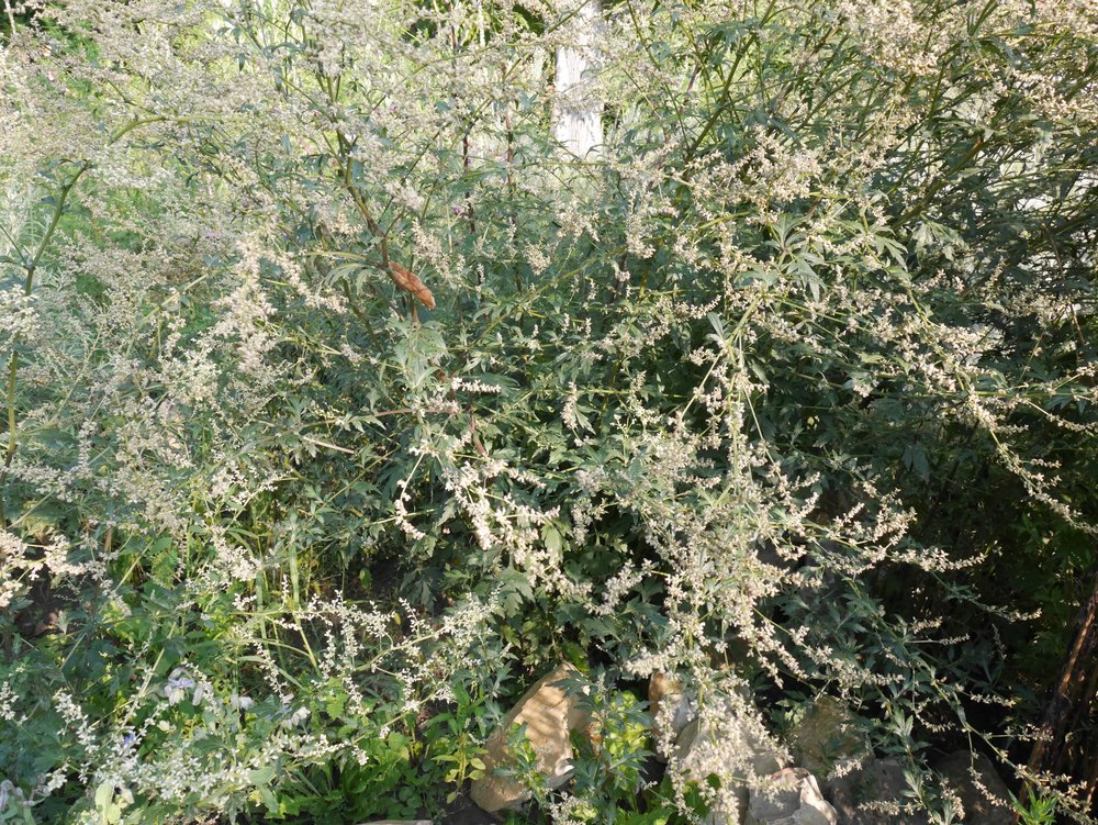 Artemisia lactiflora, August 2017