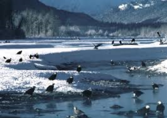 Bald Eagles Gather to Feast on Salmon in the Chilkat Bald Eagle Preserve, near Haines, AK