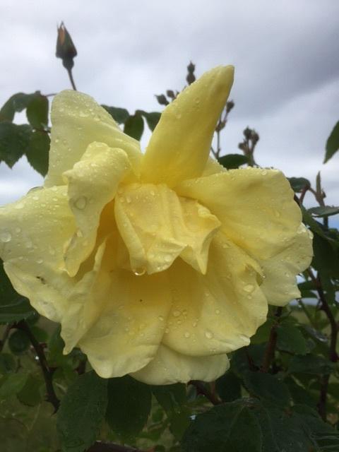 Rain dripping rose