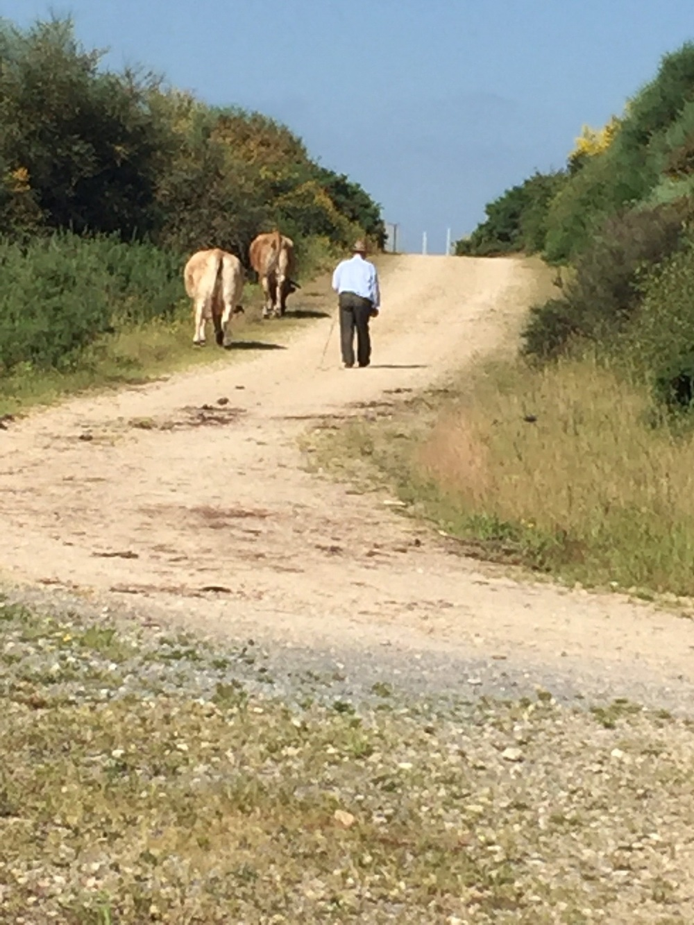 A man and his cows