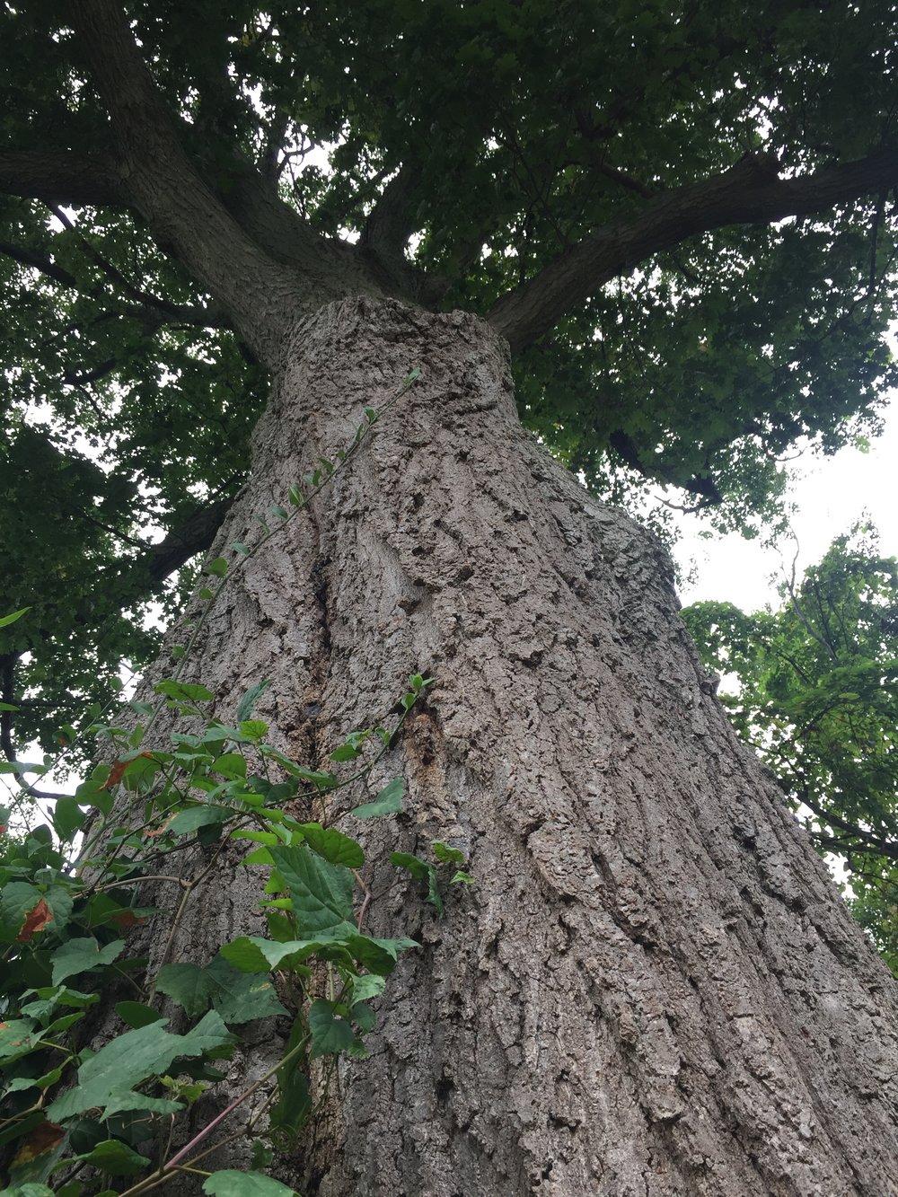The oak tree outside my office.
