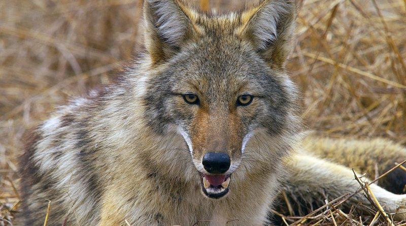 coyotes.file_.edu_-800x445.jpeg