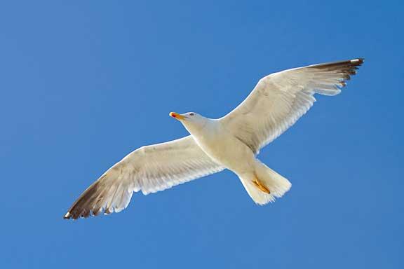Spanish-gull-study-1-8.jpg