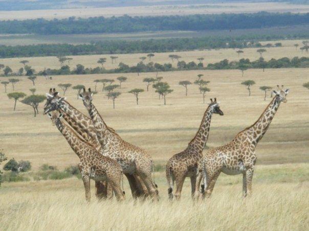 giraffes-safari-kenya