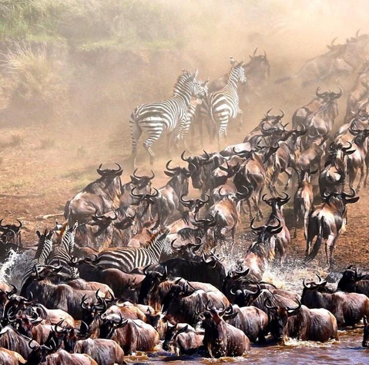 kenya-migration-wildebeest-zebra