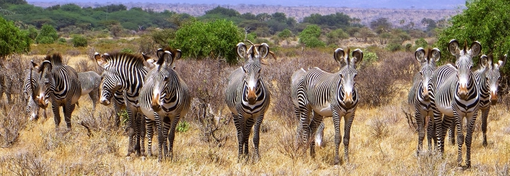 samburu-grevys-zebra