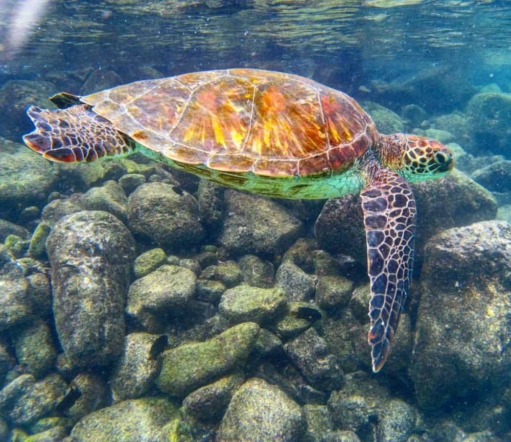 IntroverTravels snorkeling with sea turtles