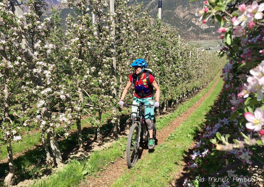 Mountainbiken zwischen Apfelblüten im Vinschgau