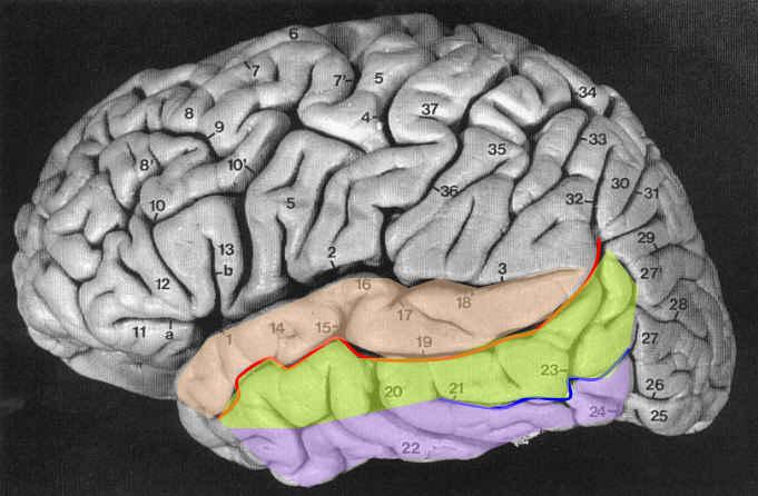 Primer on Cortical Sulci — fMRI 4 Newbies