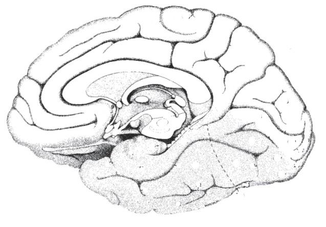 Anatomical Brain Areas — fMRI 4 Newbies
