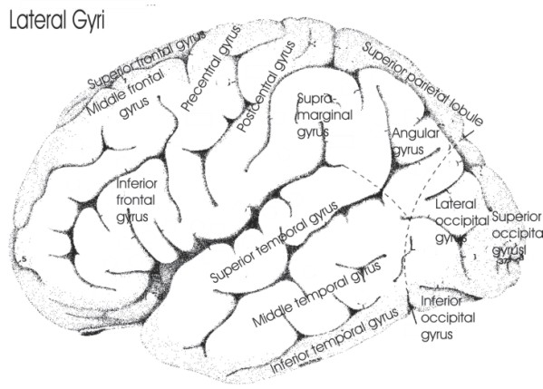 Anatomical Brain Areas — fMRI 4 Newbies