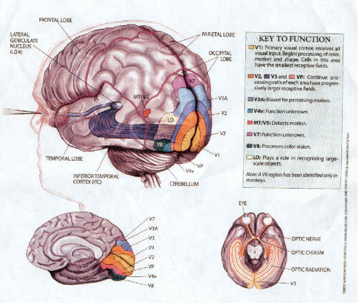 Retinotopic and early visual areas fmri 4 newbies retinotopic and early visual areas ccuart Images