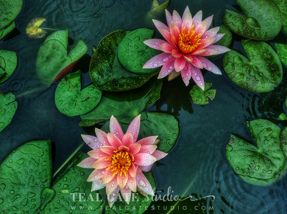 lily pad flowers (3 of 3).jpg
