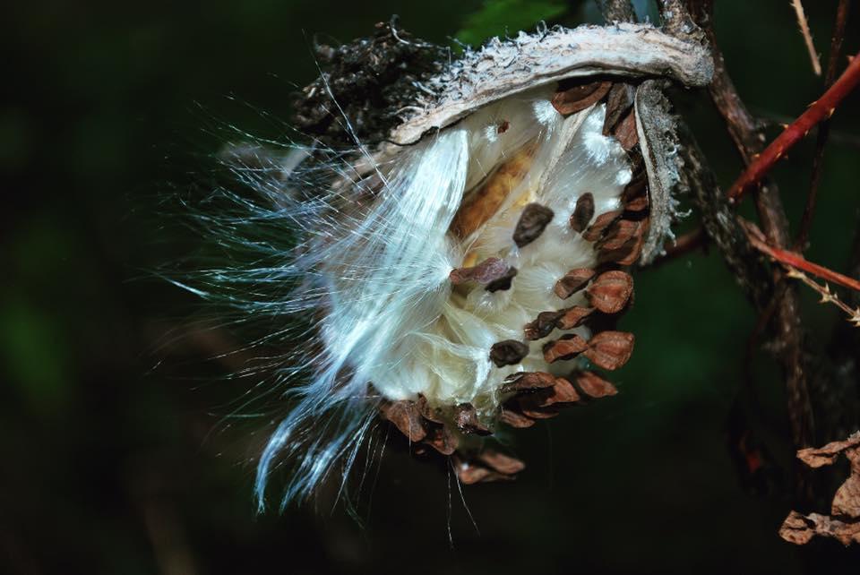 milkweedpod.jpg